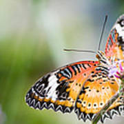Malay Lacewing Butterfly Art Print