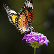 Malay Lacewing On A Flower  Art Print