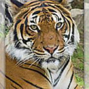Malayan Tiger 1 Art Print