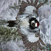 Male Acorn Woodpecker - Phone Case Design Art Print by Gregory Scott