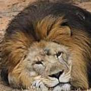 Male African Lion Art Print