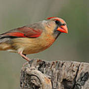 Male And Female Cardinal Art Print