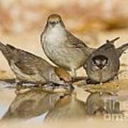 Male And Female Eurasian Blackcaps Art Print