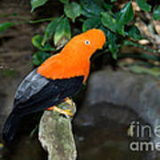 Male Andean Cock-of-the-rock Art Print