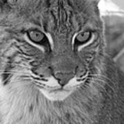 Male Bobcat - Black And White Art Print by Jennifer  King