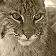 Male Bobcat - Sepia Art Print