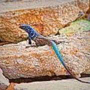 Male Bonaire Whiptail Lizard Art Print