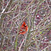 Male Cardinal Cold Day 2 Art Print