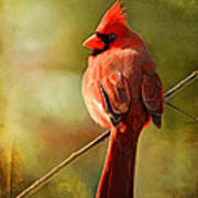 Male Cardinal In The Sun - Digital Paint Art Print