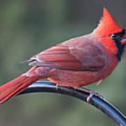Male Cardinal Art Print by John Kunze