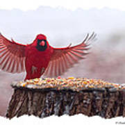 Male Cardinal Landing  Art Print