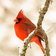 Male Cardinal Art Print by Thomas Pettengill