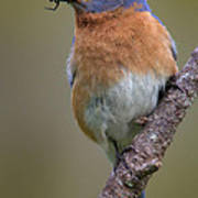 Male Eastern Bluebird With Spider Art Print