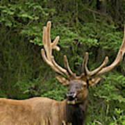 Male Elk, Bow Valley Parkway, Banff Art Print