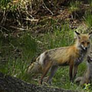 Male Fox And Pup   #3554 Art Print