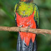 Male Golden-headed Quetzal Art Print