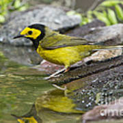 Male Hooded Warbler Art Print