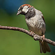 Male House Sparrow Perched In A Tree Art Print