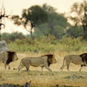 Male Lions At Dawn, Moremi Game Art Print