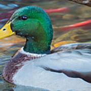 Male Mallard Duck  Art Print