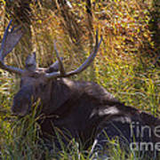 Male Moose   #3865 Art Print