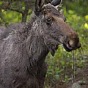Male Moose   #5696 Art Print
