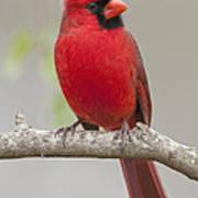 Male Northern Cardinal In January Art Print