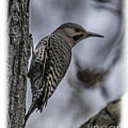 Male - Northern Flicker Art Print