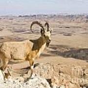 Male Nubian Ibex Capra Ibex Nubiana 1 Art Print