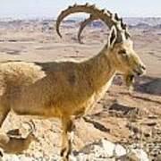 Male Nubian Ibex Capra Ibex Nubiana Art Print