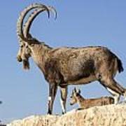Male Nubian Ibex Art Print