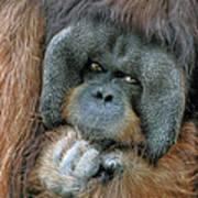 Male Orangutan  Art Print