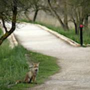 Male Red Fox Vulpes Vulpes Art Print