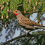 Male Red-shafted Northern Flicker Art Print