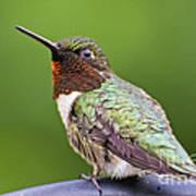 Male Ruby Throated Hummingbird Art Print