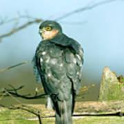 Male Sparrowhawk Art Print