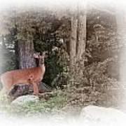 Male Whitetail Deer Art Print