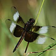 Male Widow Skimmer Dragonfly Art Print