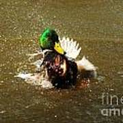 Mallard Bath Time Art Print