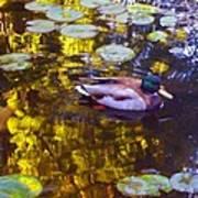 Mallard Duck On Pond 2 Art Print