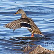 Mallard Duck Showing Off Art Print
