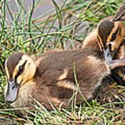Mallard Ducklings And Mom Art Print