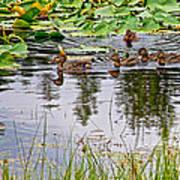 Mallard Ducks In Heron Pond In Grand Teton National Park-wyoming  Art Print