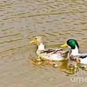 Mallard Ducks Pair Art Print