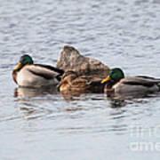 Mallard Ducks Sleeping Art Print