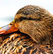 Mallard Hen Close Up Art Print
