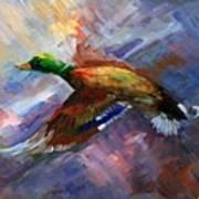 Mallard In  Flight Art Print