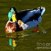 Mallard Male Duck Art Print