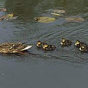 Mallard Mother With Ducklings Art Print