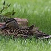 Mallard Nesting Art Print